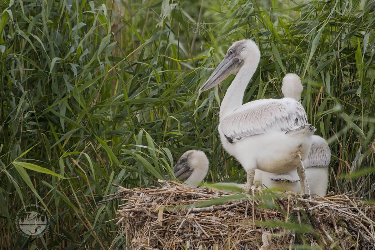 Птицы челябинской области, Донгузловский природный заказник, Пеликан, кудрявый пеликан, колония, птенец, Pelecanus crispus